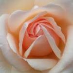 ruža za slider